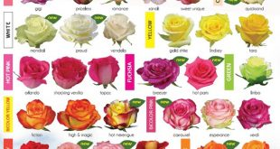 30 Diagrams to Make You Master in Growing Roses