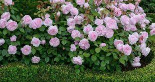 44 Beautiful Rose Flower Garden Ideas
