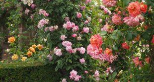 David Austin Rose Garden: English Rose Perfume Perfection