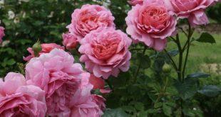 David Austin's English Roses Garden in Osaka,japan www.davidaustinro...