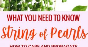 How to Care for and Propagate your String of Pearls Plant