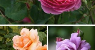 Top 10 Types of Roses You Would Love to Have in Your Garden