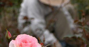 ♥ a rose
