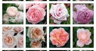 David Austin Roses - shades of pink roses, some vintage varieties, from French E...