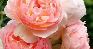 Evelyn. David Austin Rose.1987. Strong old rose fragrance. Named for the company...