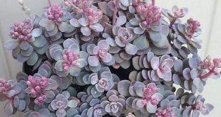 Orostachys ist farbenfroh und kalt winterhart, #farbenfroh #orostachys #winterh