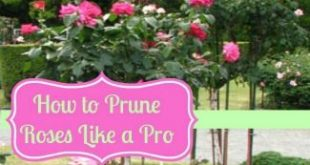 The Best Way To Prune Roses