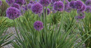 Allium 'Lavender Bubbles' PPAF - Common Name: Ornamental Onion - Zones: ...