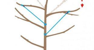 Apfelbaum schneiden: Tipps für jede Baumgröße