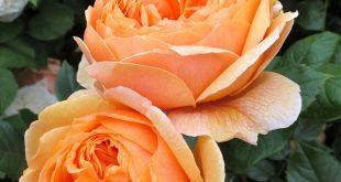 English Rose ~ 'Summer Song' David Austin 2005. Beautiful orange blend r...