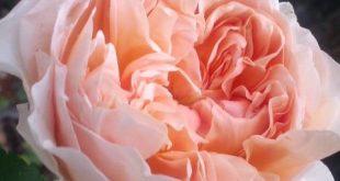 "English rose ""Evelyn"""