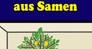 Pflanzen Sie Ihren eigenen Zitronenbaum aus Samen