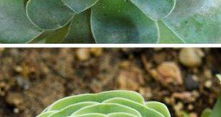 Sukkulenten nannten Dodrentalis in Form von Greenovia Rose #dodrentalis #greeno...