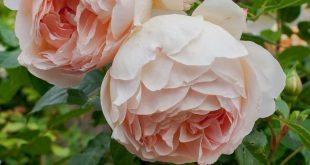 Top 10 English Roses, #2