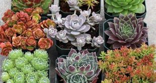 9 hardy succulents for planting in rock gardens. - The Garden Center
