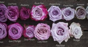 Color Study of Lavender and Purple Roses by Harvest Roses - www.harvestwholes......