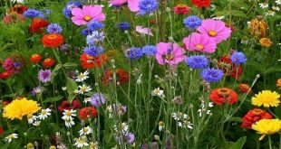 Mixed flower seed thrown onto tilled ground. I did it and they are lovely! - #...