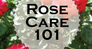 Basic Rose Care For Beginners Love roses? Try your hand at gardening them with these simple beginner tips.