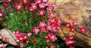 Die Saxifraga wächst wunderbar zwischen Steinen. #pflanzenfreude #wallflowers #...