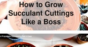 Growing Succulent Cuttings (Great Must Watch Video and Tips!)