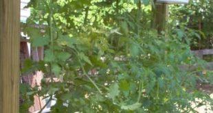 Hausgewachsene Tomaten Upside Down-Pflanzer