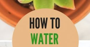 How to Water Succulents - the Right Way