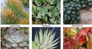 Identifying Types of Succulents - with Pictures