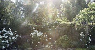 Landscape on a Budget: The $250 Instant Rose Garden