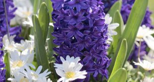 Make Room in Your Garden for Hyacinths