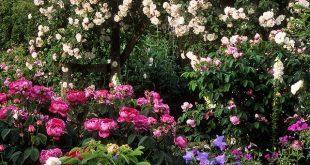 Mottisfont Abbey Rose Gardens, Romsey, Hampshire, UK