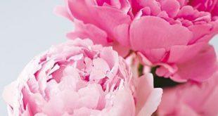 Pfingstrosen: Die Ballköniginnen unter den Blumen
